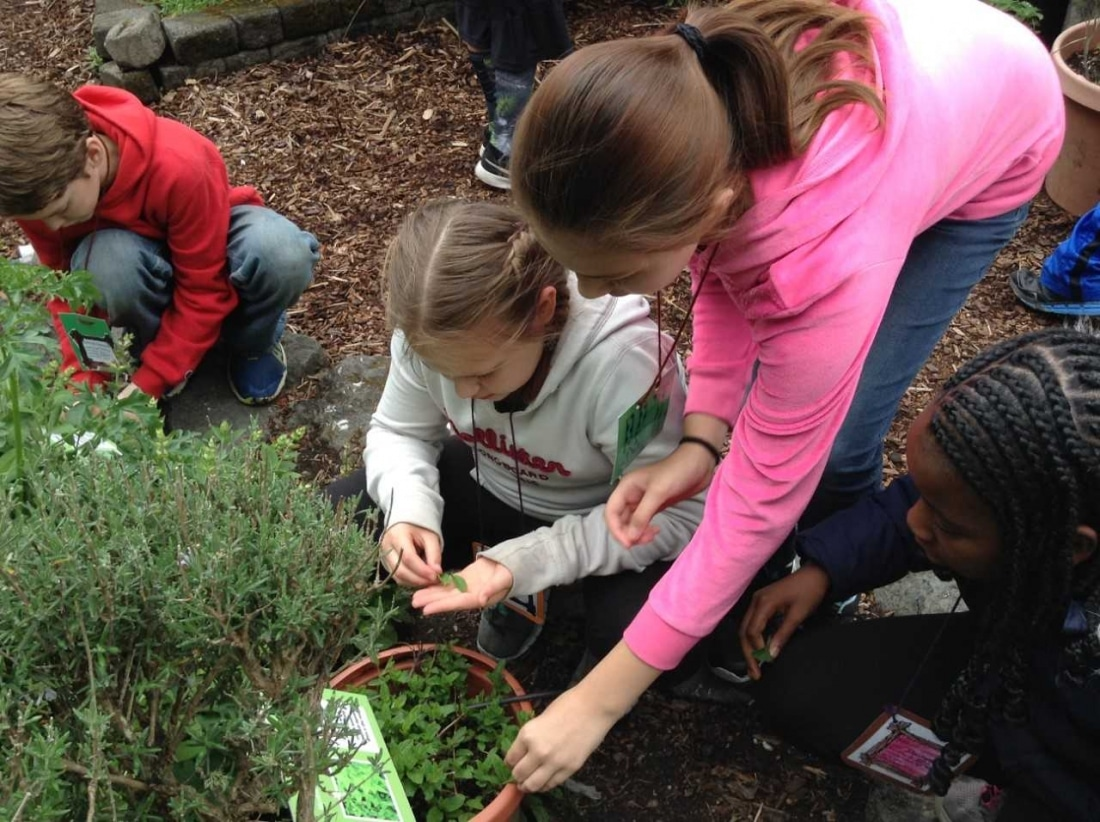 Armin Jahr students pick herbs in the garden.
