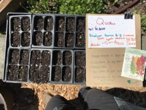 A quinoa sign in the garden next to quinoa starts.