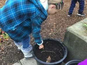 A student plants oca in the Garden Classroom.