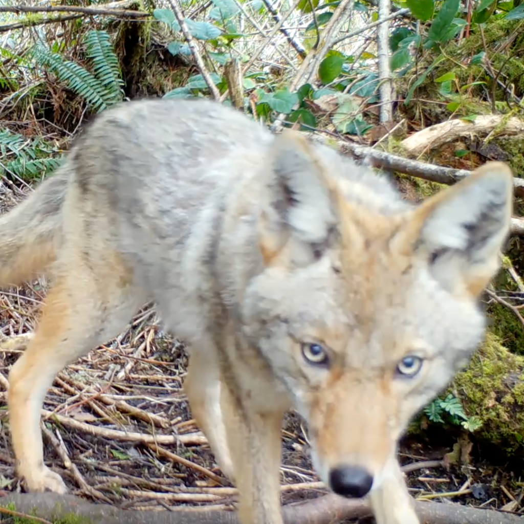 [Image description: A coyote walks in the forest at IslandWood's Bainbridge Island Campus.]